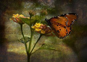 Monark-sommerfugl---Soeren-Skov---Esbjerg-Fotoklub