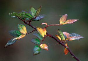 "Ole Harritz Focus ""Busk"" Bedste flora"