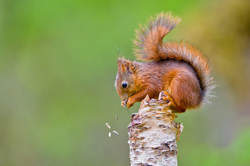Fotograf: Henrik R. Kristensen Titel: Squirrel eating from birch